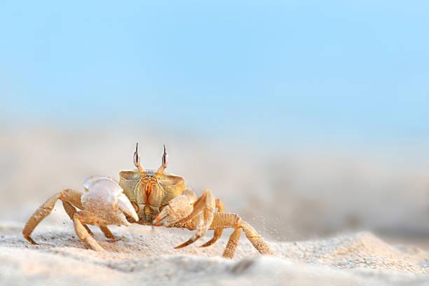 crabe de course - crabe photos et images de collection
