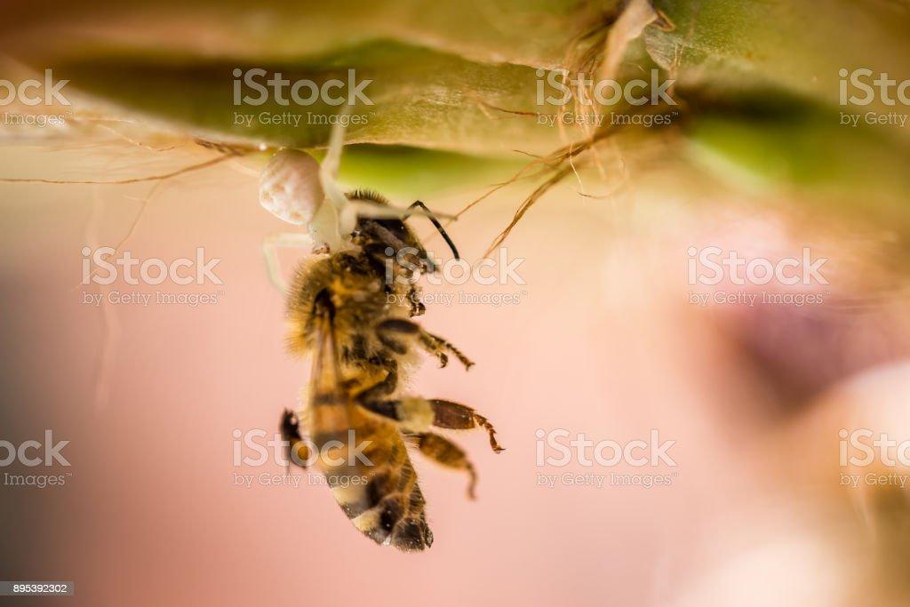 Crab Spider eating Honey Bee stock photo