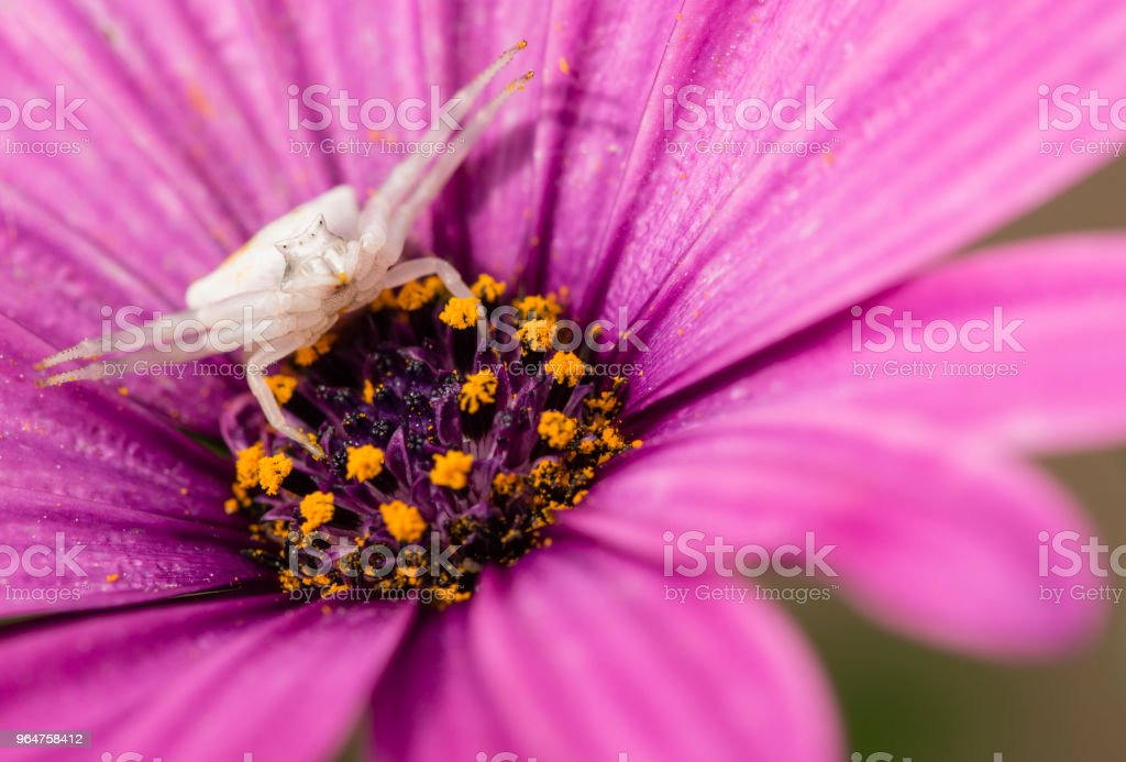 Crab spider hunting for insects. royalty-free stock photo
