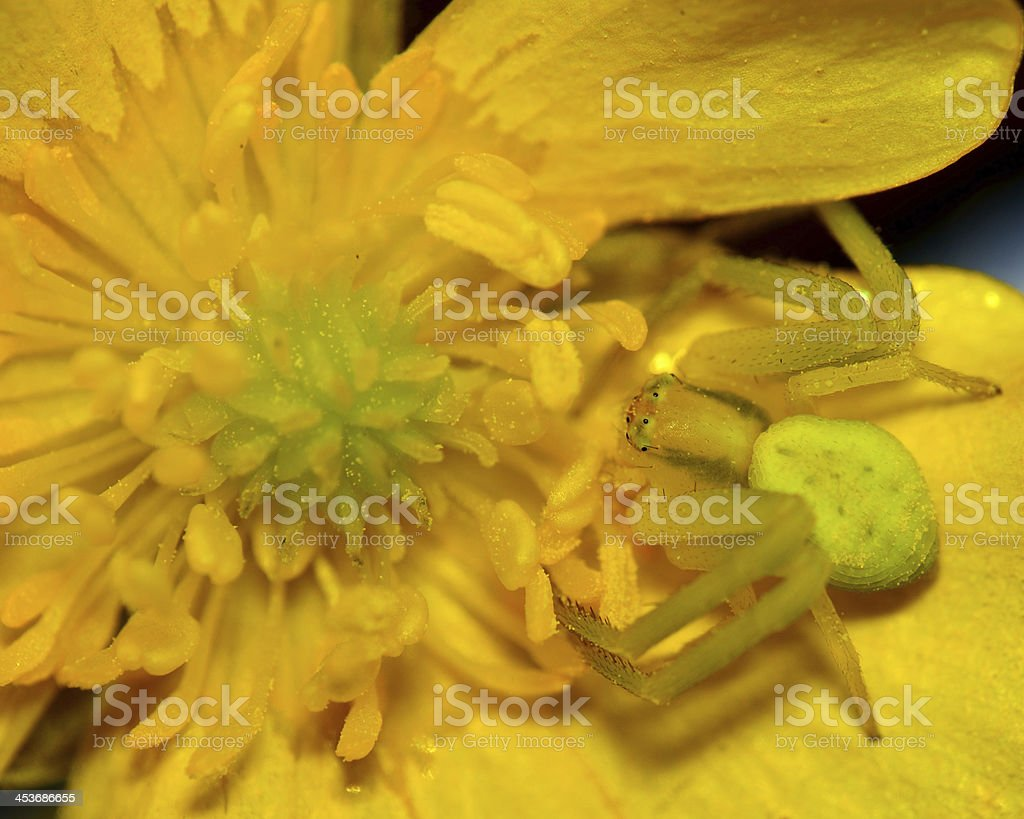 Crab Spider royalty-free stock photo