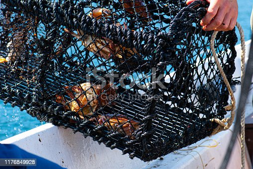 istock A crab trap being lifted out of the water with crabs in it, Cancer pagurus. 1176849928