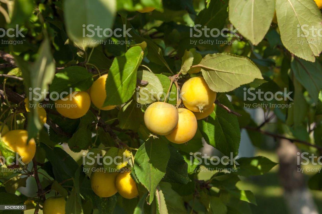 Crabapple and Wild apple. stock photo