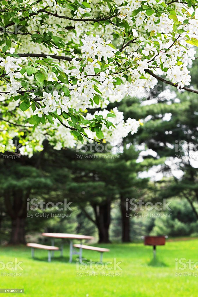 Crabapple Blossoms and Picnic Table royalty-free stock photo