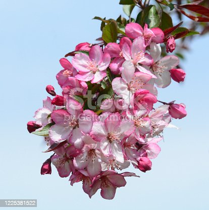 Prink and White Crabapple blossom cluster