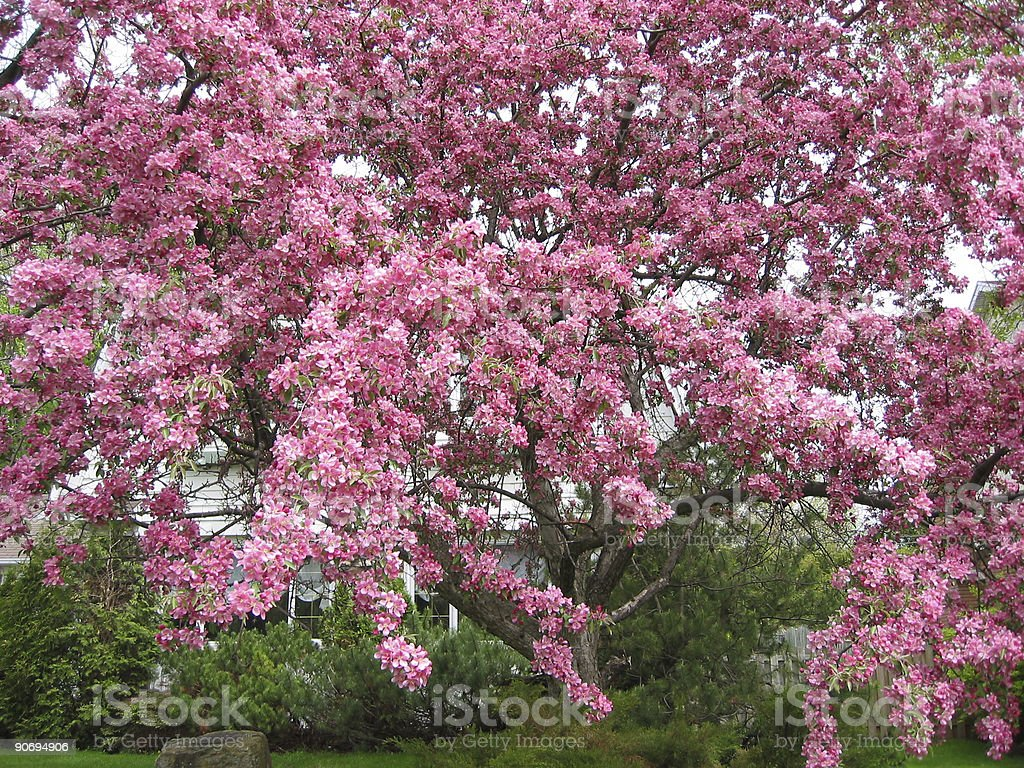 crabapple in bloom 2 royalty-free stock photo