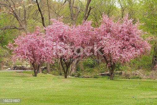 Three crab apple trees in full bloom.
