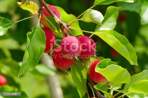 Crabapples are a wild species of apple tree which generally yield small, bitter fruit. However crabapple trees are typically grown for their ornamental value, as well as the fragrance they give off in a garden.