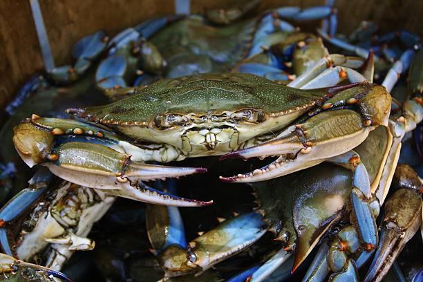 crabby - blauwe zwemkrab stockfoto's en -beelden