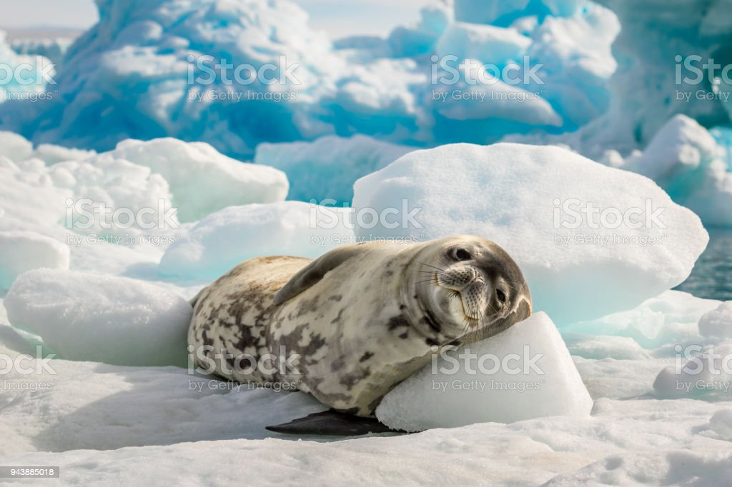 Crabeater seal lie on the sun in Antarctica stock photo