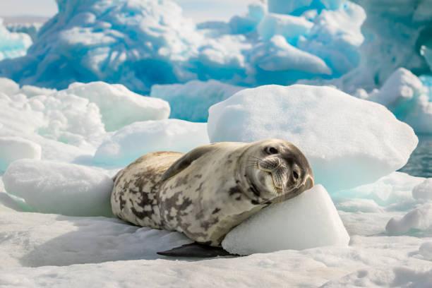 Sello de Weddell se acuesta el sol en la Antártida - foto de stock