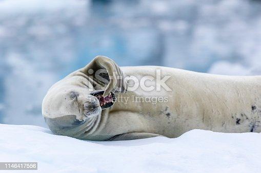 Crabeater seal (Lobodon carcinophaga) portrait on an ice floe in Crystal Sound, Antarctic Peninsula