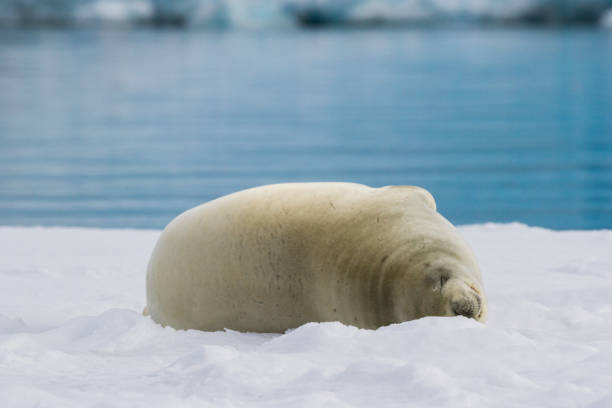 Crabeater Seal rests on an ice shelf near the water in Antarctica stock photo
