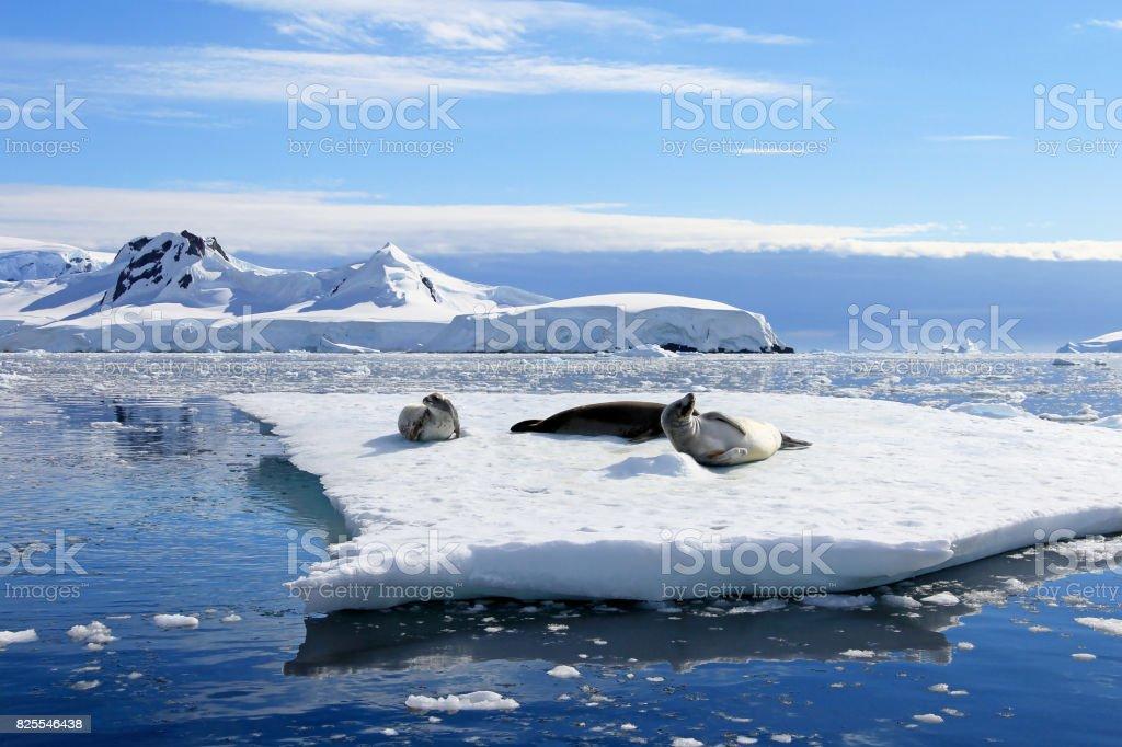 食蟹海豹在浮冰,南極半島圖像檔