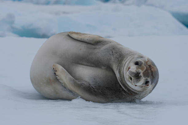Crabeater seals on the ice. stock photo
