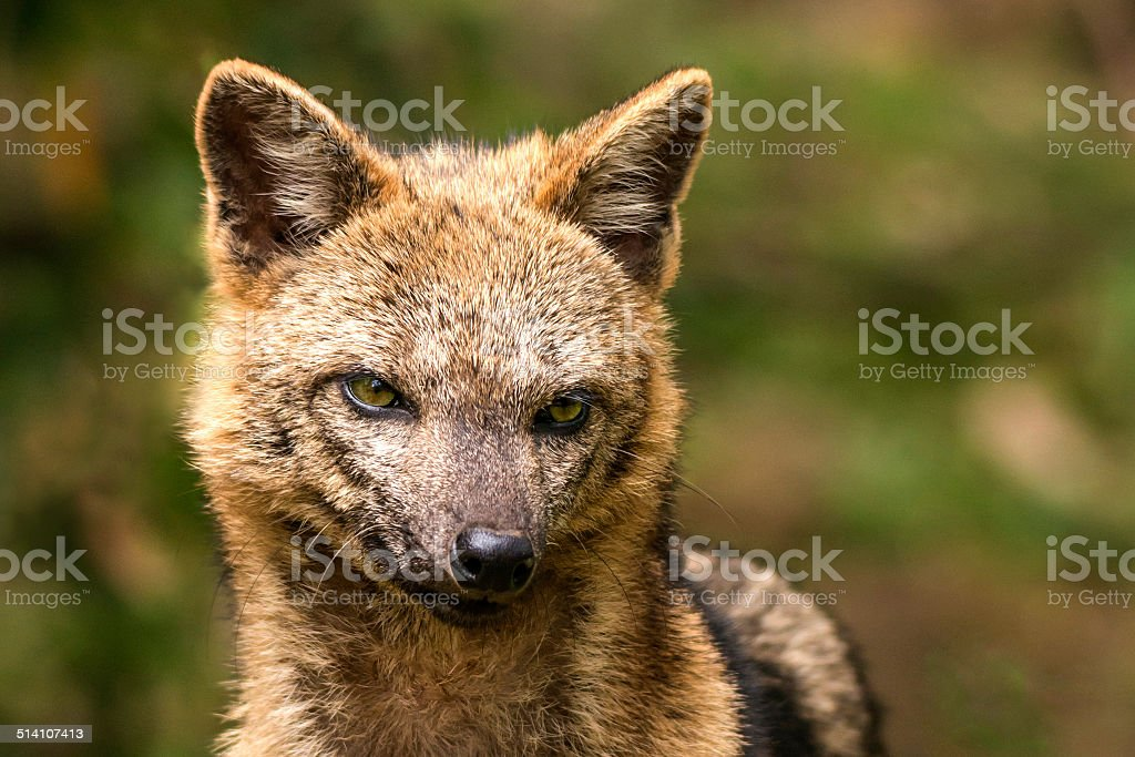 Crab-eating fox stock photo