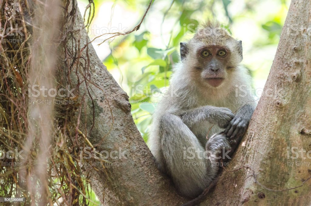 Crab-eating macaque (Macaca fascicularis) or long-tailed macaque resting and contemplating on a tree in Thailand stock photo