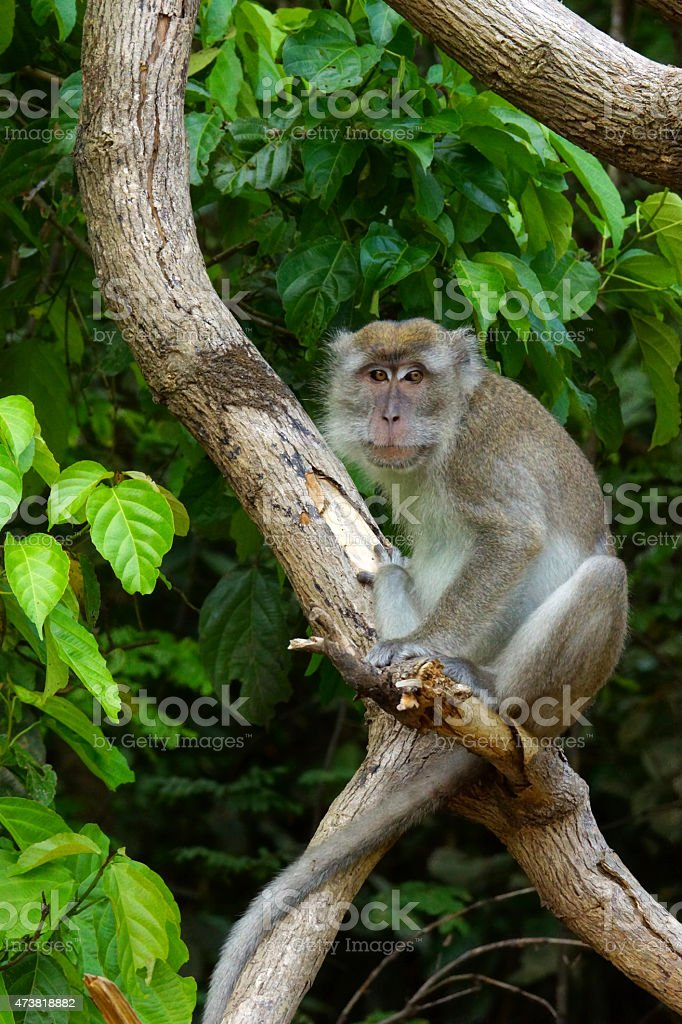 Crab-eating macaque stock photo