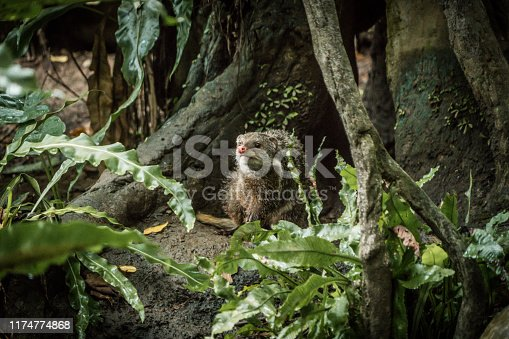 Crab-eating mongoose in wild