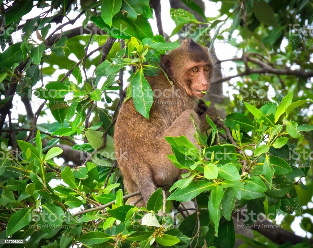 Crab-Eating Monkey On The Tree stock photo