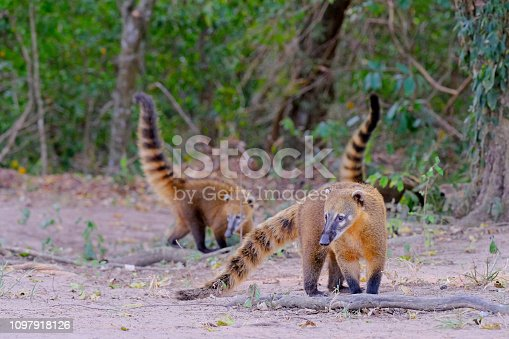 Crab-eating Raccoons, South American Raccoons, Procyon Cancrivorus, Mato Grosso, Pantanal, Brazil South America