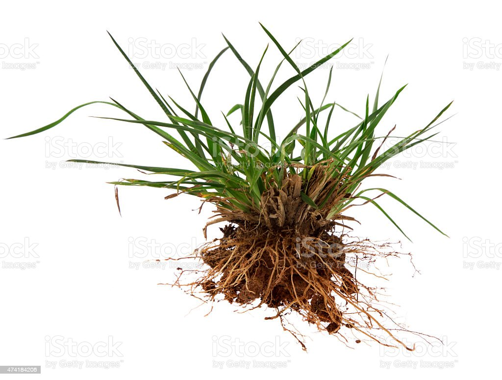 Crabgrass weed stock photo