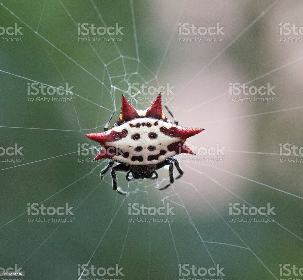 Crab-Like Spiny Orb Weaver stock photo