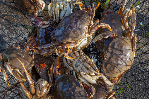 Fresh caught crabs in a net.