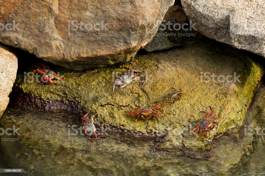 Crabs crawling on rocks by water stock photo