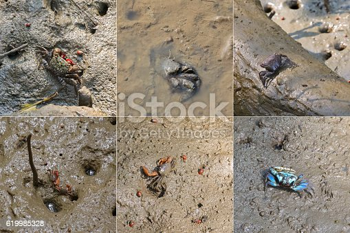 Different types of small crabs and sea snails crawling on wet muddy land in mangrove forest, Thailand