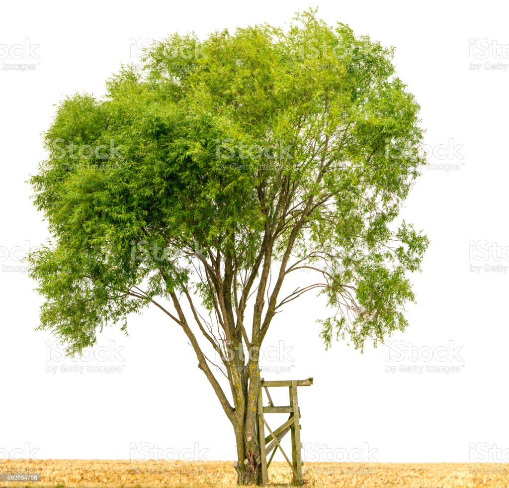 Crack willow or Salix fragilis along field isolated on white. Crack willow or Salix fragilis on harvested field isolated on white. A wooden outlook stands exposed beside the tree. Agricultural Field Stock Photo