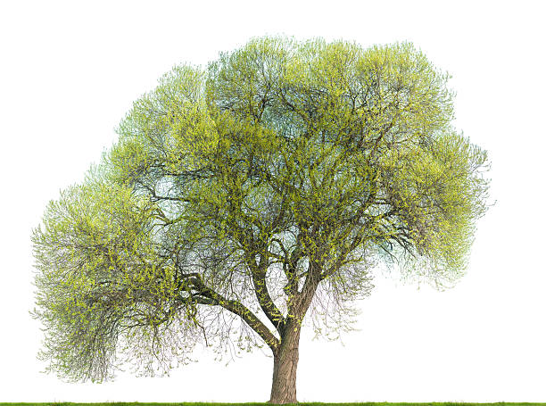 Crack willow tree (Salix fragilis) in spring isolated on white. stock photo