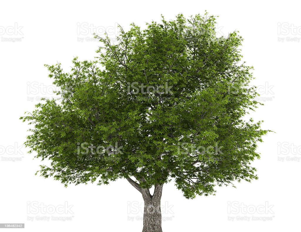 crack willow tree isolated on white background royalty-free stock photo