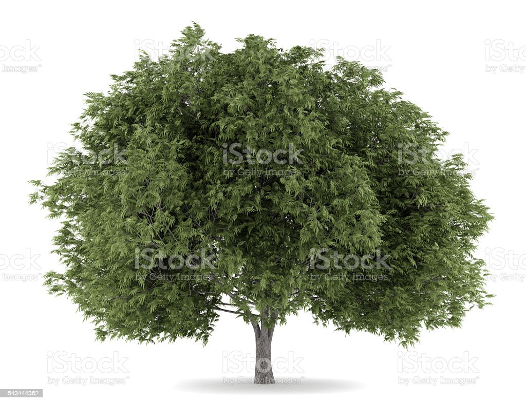 Crack Willow Tree Isolated On White Background stock photo 543444362 ...
