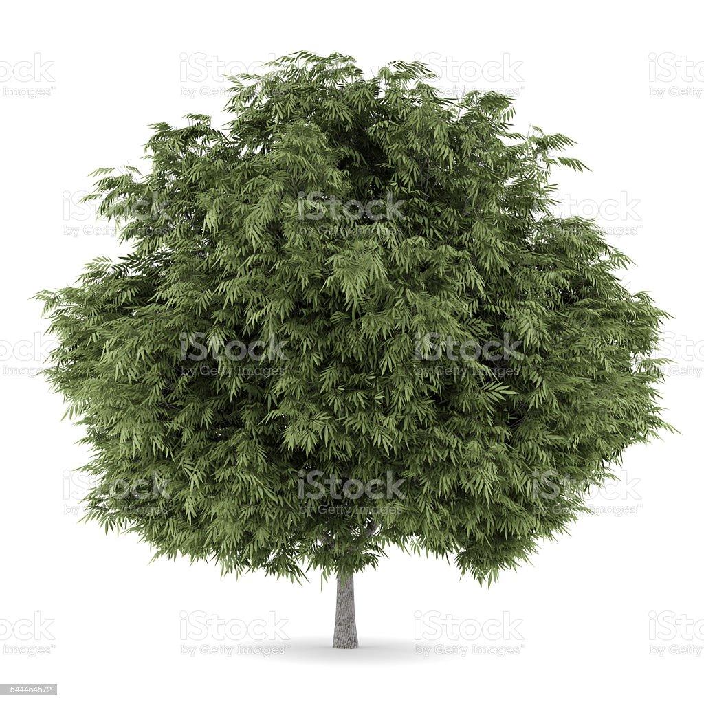 Crack Willow Tree Isolated On White Background stock photo | iStock