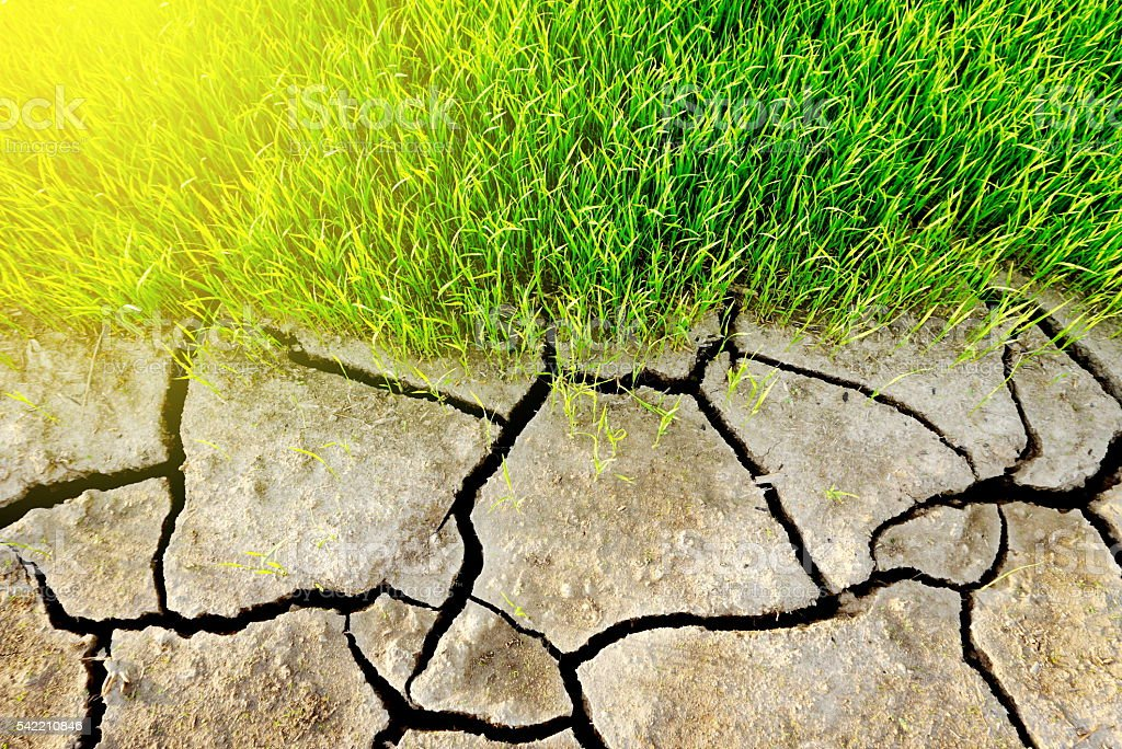 cracked dry soil texture and green rice field stock photo