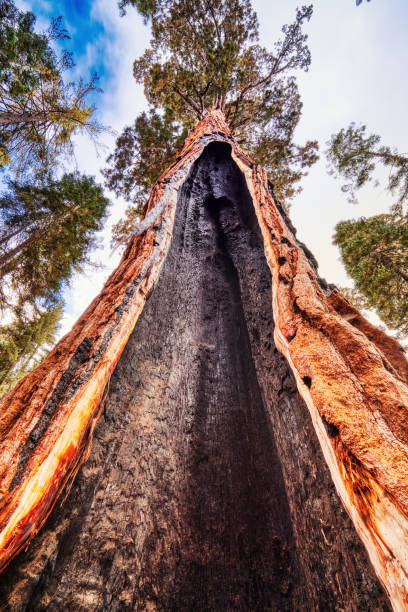 Cracked Giant Sequoia in the Sequoia National Park, California, USA stock photo