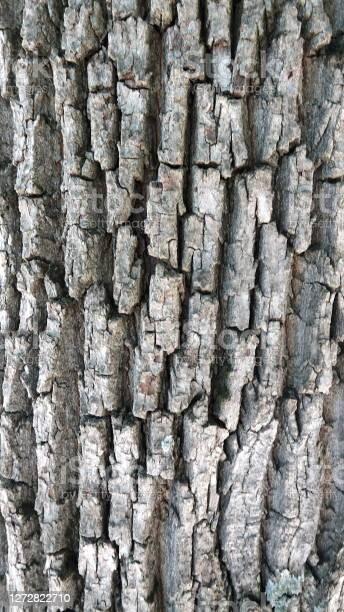 Photo of Cracked, grey tree bark; Oak
