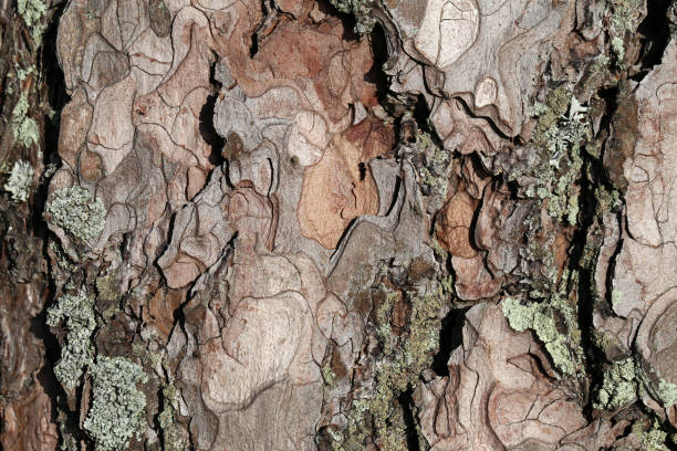 Cracked Tree Trunk Peel Surface with Some Lichen stock photo