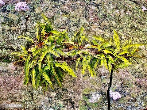 Ferns growing out of a rock along Ramapo Lake in the Ramapo Highlands, New Jersey, USA