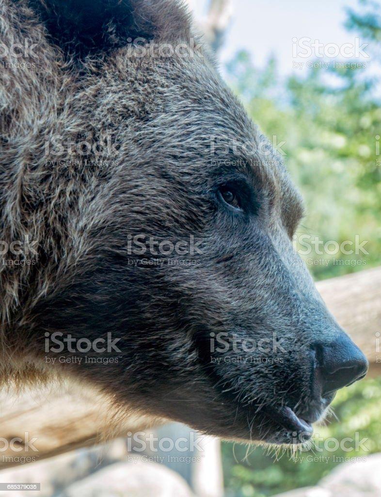 Crafty bear foto de stock royalty-free