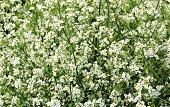 Crambe Cordifolia plant - Meerkohl, Seekohl, Colewort-Crambe, Heartleaf-Crambe, Riesenschleierkraut.\nThe flowers smell of honey.
