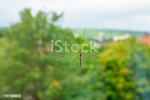 Cran fly sitting on a window