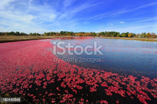 Cranberries trail after threshing the vines for harvest.More related cranberry farming images.