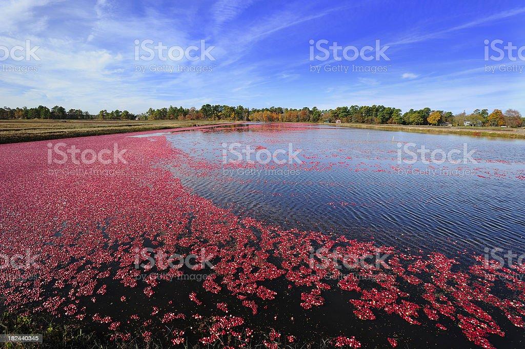 Cranberries float on a bog stock photo
