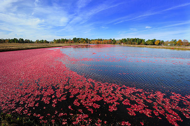 cranberries float on a bog - cranberry stock photos and pictures