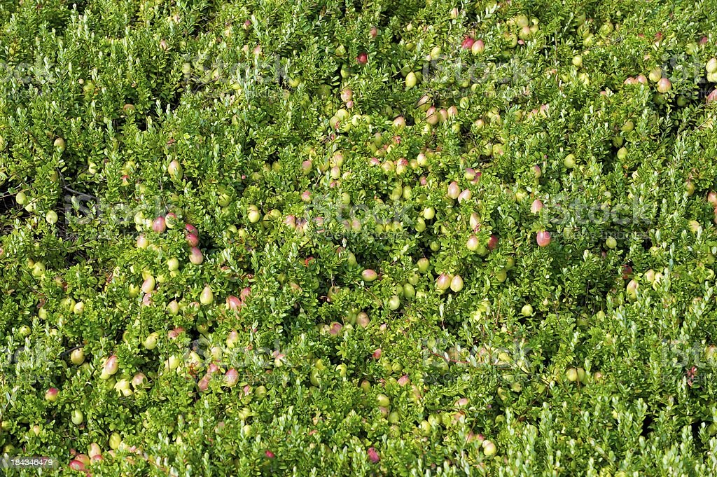 cranberries growing royalty-free stock photo