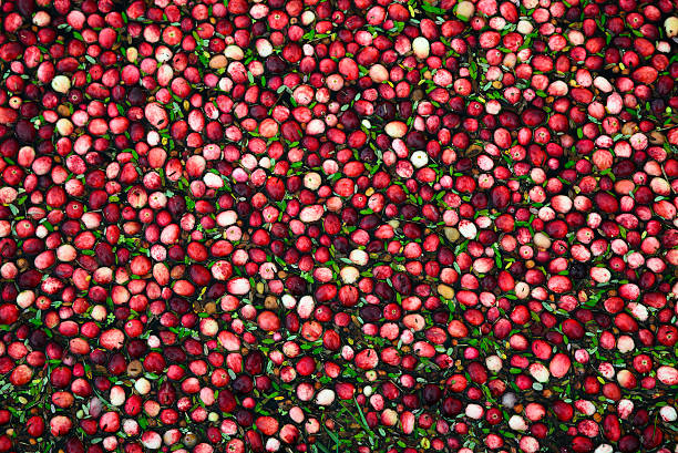 cranberries in flooded marsh - closeup - caernarfon and merionethshire stockfoto's en -beelden