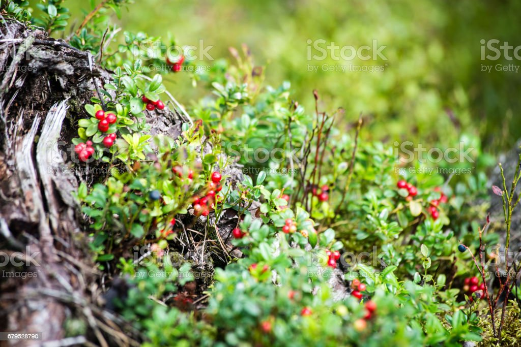 cranberries on green background royalty-free stock photo