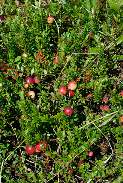 Cranberries on the vine - vertical stock photo