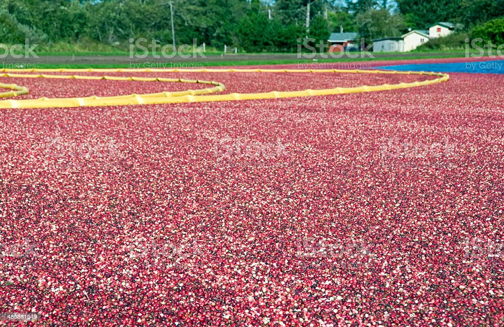 Cranberry bog at harvest time in Washington state royalty-free stock photo